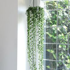 How to Take Care of String of Pearls